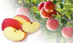 【訳あり/送料込み/予約受注】秋の味覚をたっぷり堪能。甘みたっぷり栄養満点のりんごを、大容量の約10kgでお届け《山形県産サンふじりんご 約10kgバラ詰め(28~56玉)》アップルパイやスムージーなどに