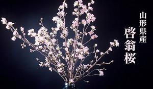 【送料込み】 全国に誇る山形県産の促成栽培の桜。冬に咲く桜の花《啓翁桜(けいおうざくら)8~10本入り(約60~80cm)》うす紅色をしたボリューム感のある啓翁桜